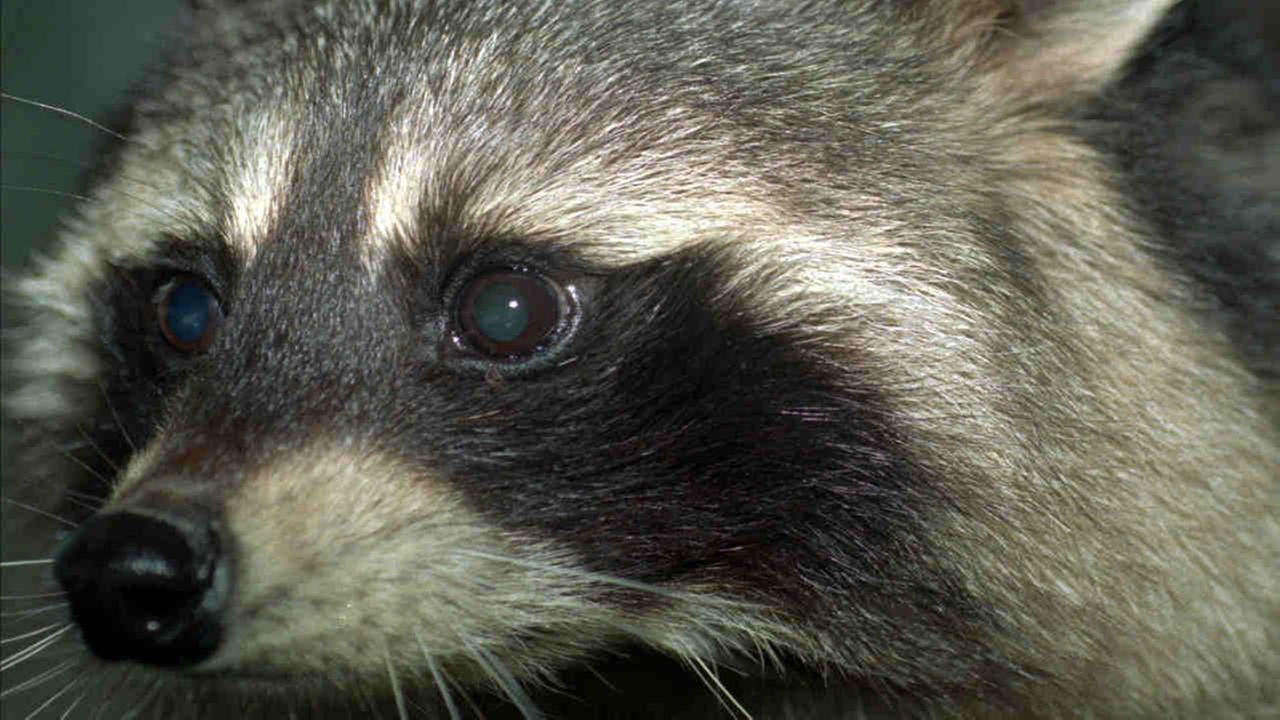 After rabid raccoon found in Bayonne park, residents warned to be on alert