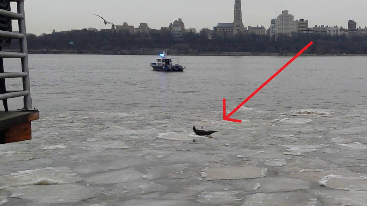 Video: Seal takes a break on icy Hudson River near Edgewater