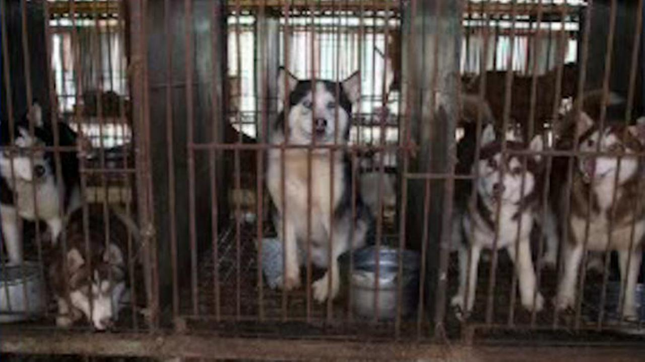 Dogs rescued from South Korea meat farm up for adoption
