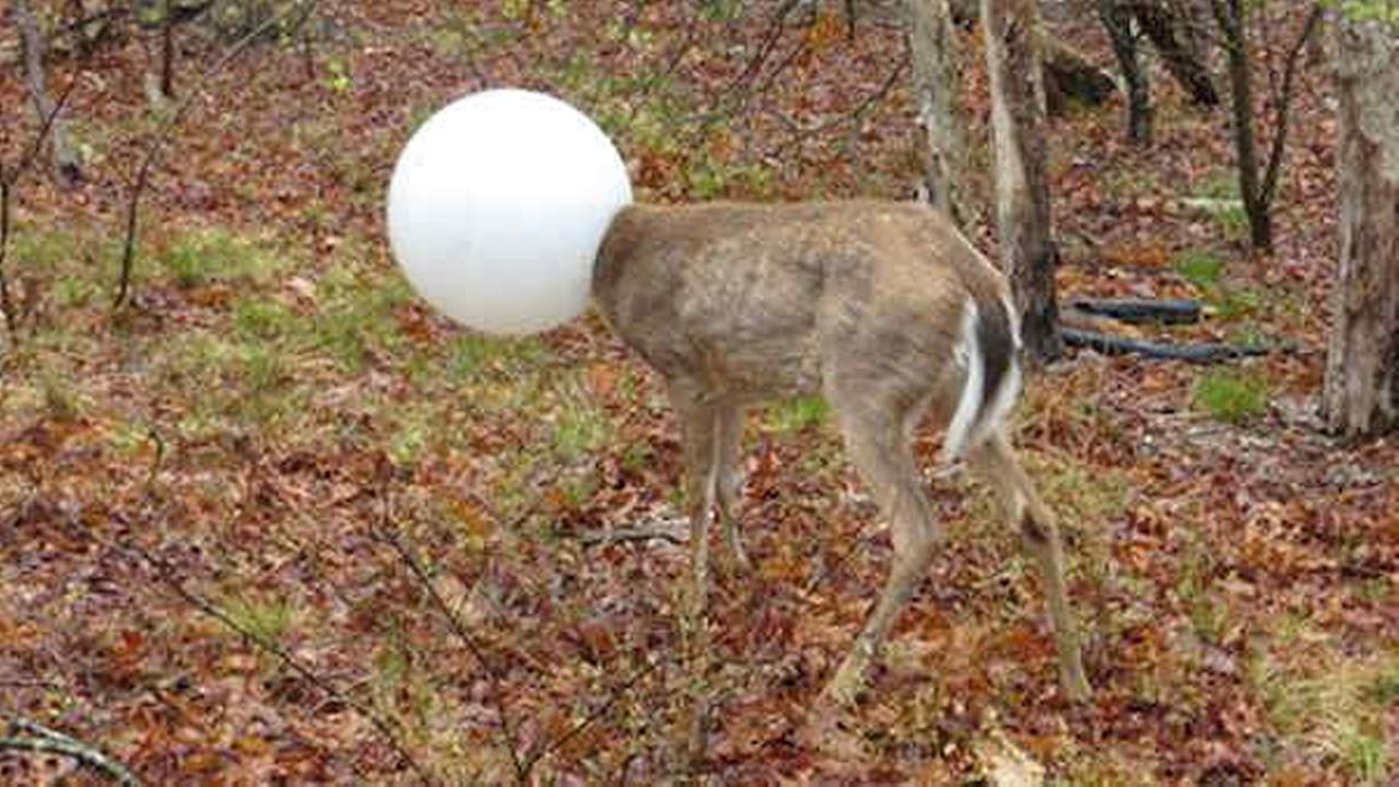 Deer gets head caught in light on Long Island