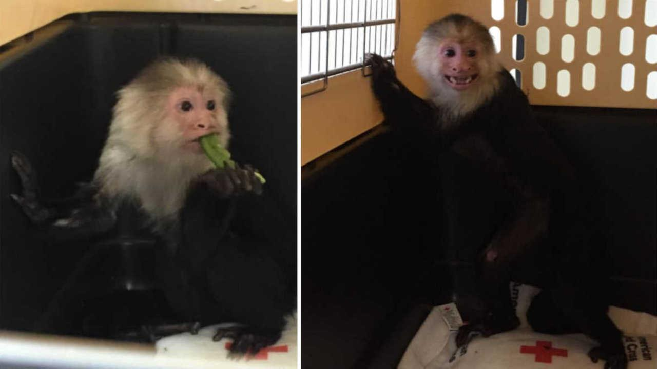 Illegal monkey seized from Long Island home will live at animal sanctuary