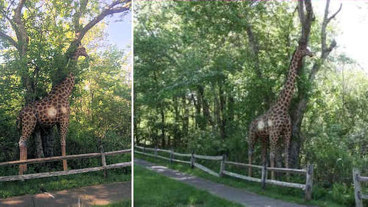 12-foot-tall wooden giraffe chained to tree in East Hampton