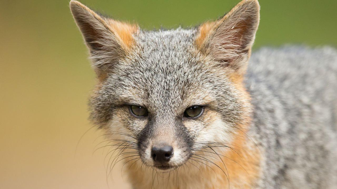 New Jersey town warns of aggressive fox attacking dogs