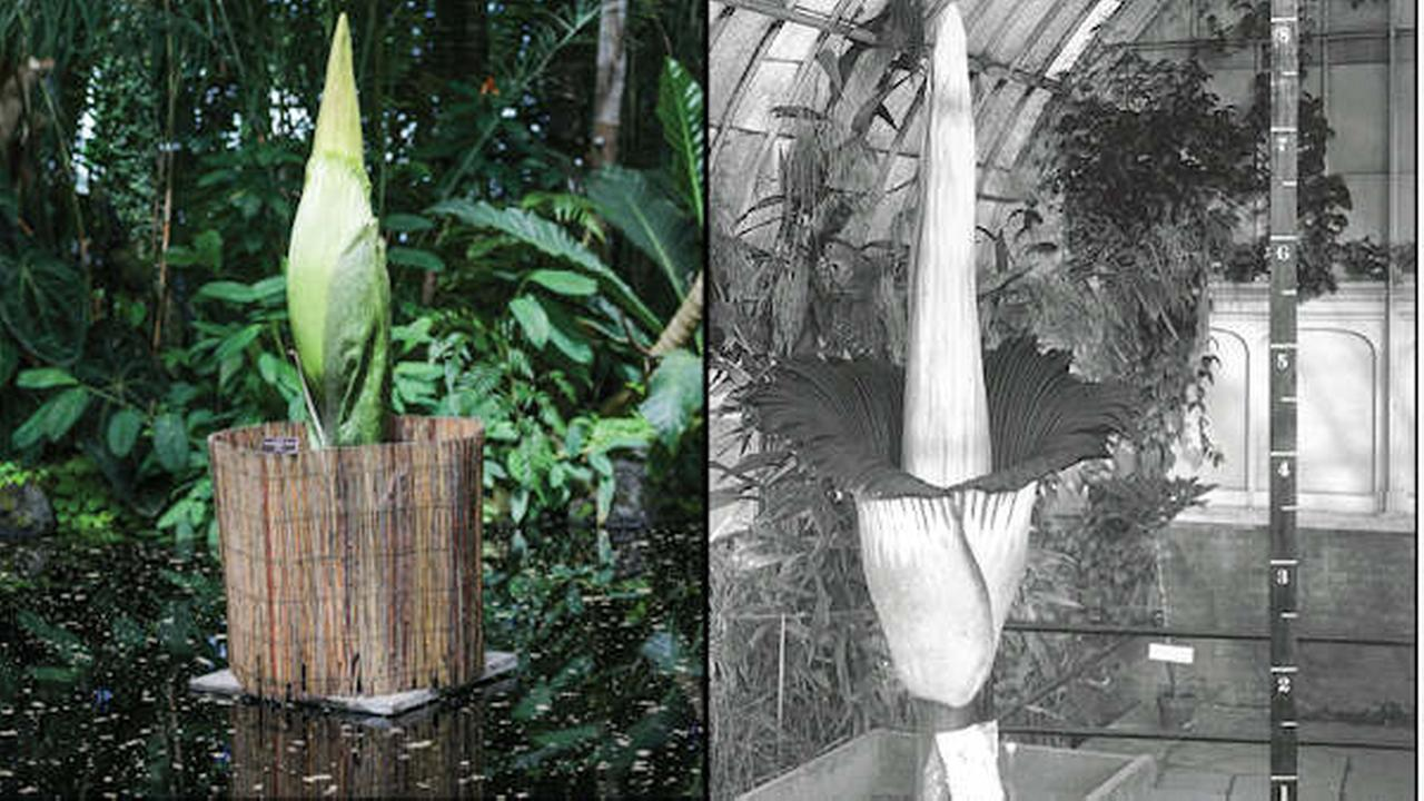 The bud of the corpse flower on display at NYBG (left). The corpse flower blooming in 1937 at NYBG (right)