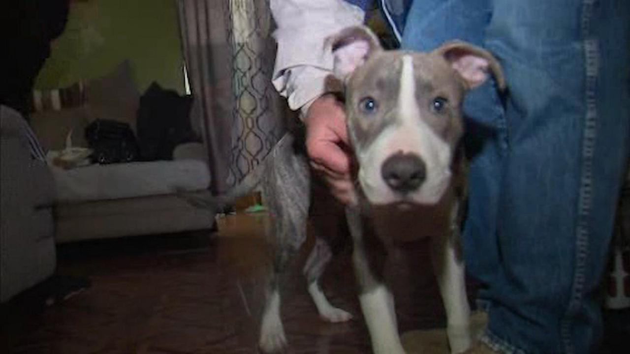 Pit bull credited with saving teen from rape in Brooklyn