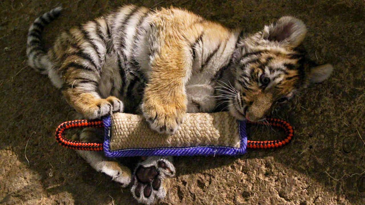 Wisconsin zoo raises Amur tiger cub by hand to save its life