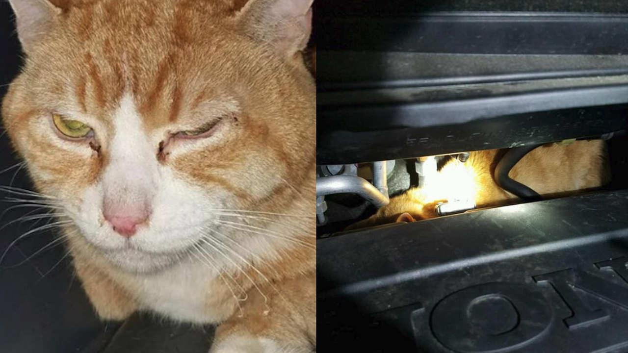 Brooklyn cat survives 225-mile trip upstate under minivan's hood