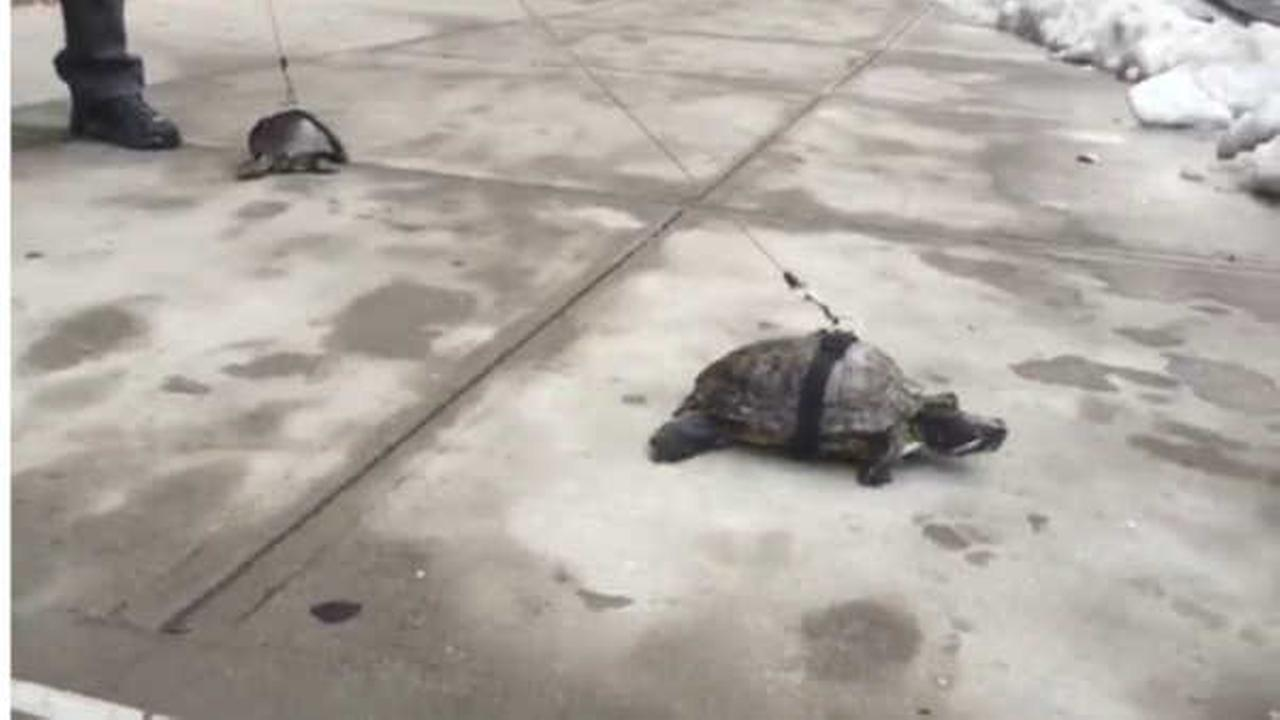 Only in New York: East Harlem man walks his turtles