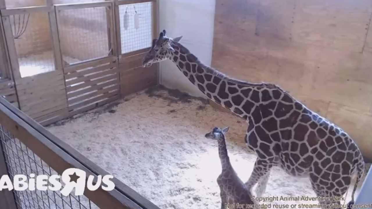 April the Giraffe gives birth.