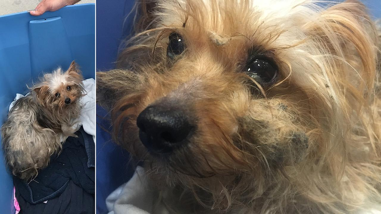 Filthy Yorkie recovering after being thrown from car on freeway