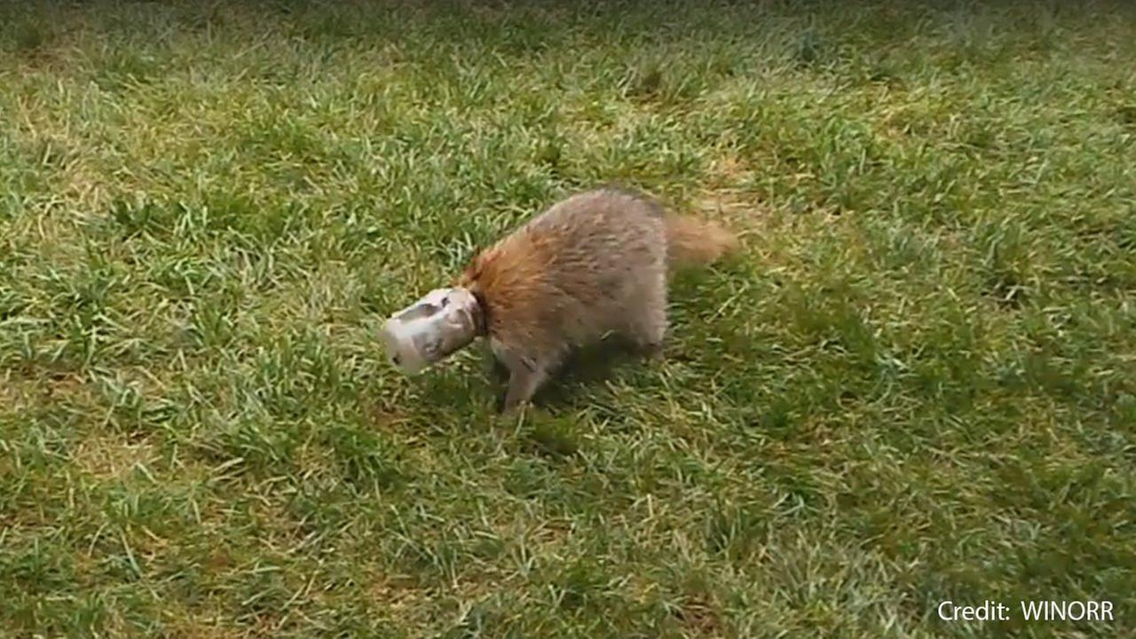 Raccoon gets head stuck in peanut butter jar on Long Island