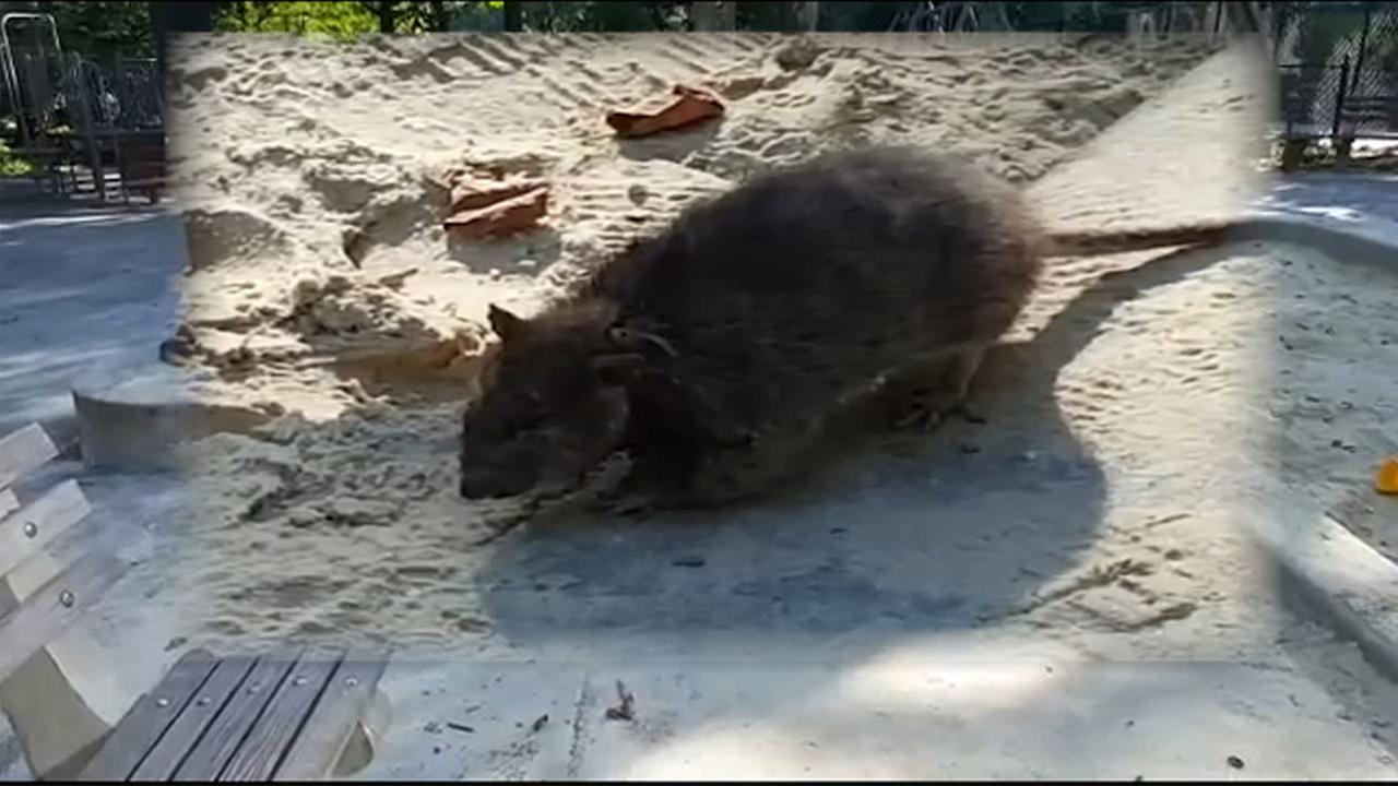 Different rats found in New York neighborhoods