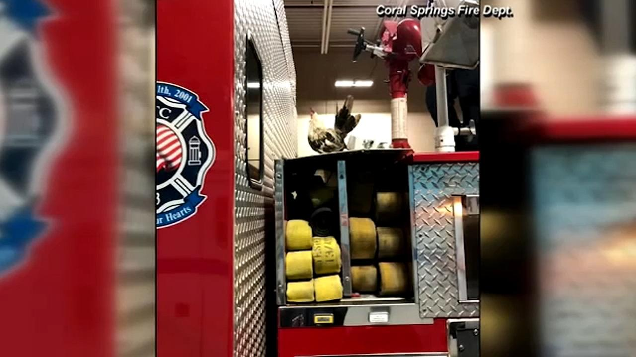 Chicken goes on joyride on back of fire truck