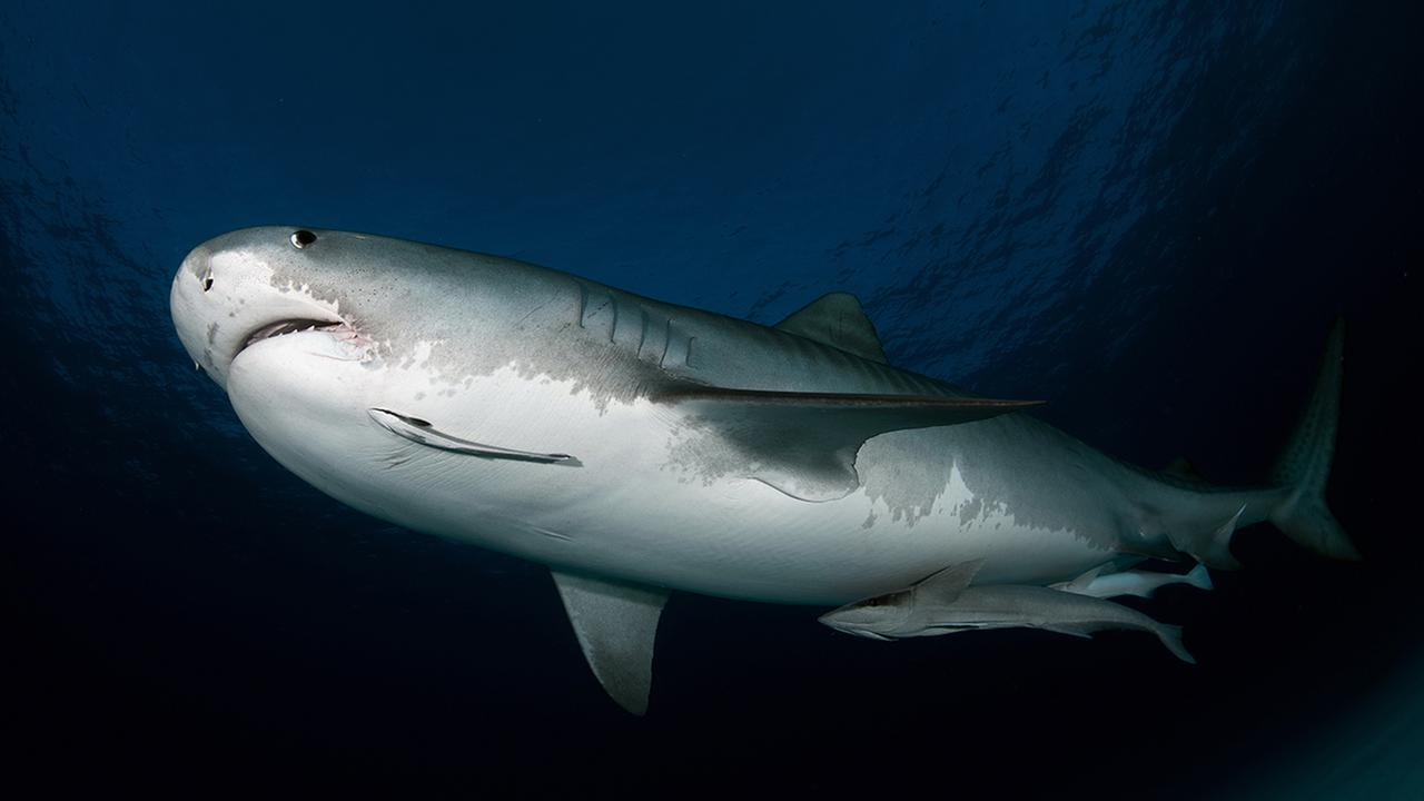 A tiger shark is pictured in this undated stock photo. (Shutterstock)