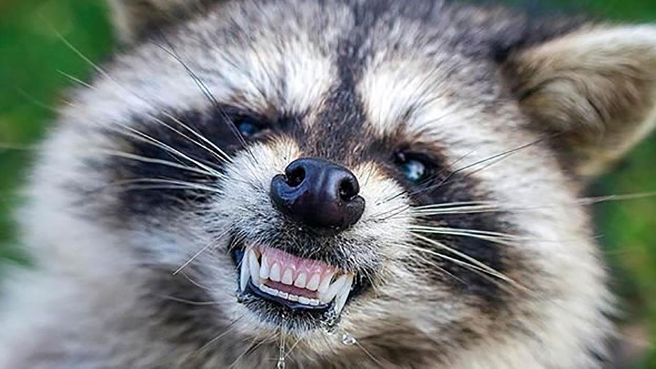 New Jersey resident bitten by raccoon in backyard, receives rabies treatment