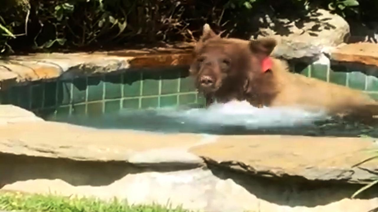 This Friday, June 29, 2018, image made from video released by Mark Hough shows a bear in a hot tub in Houghs backyard in Altadena, Calif. (Mark Hough via AP)