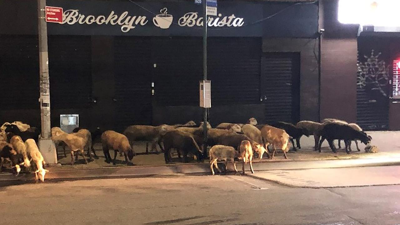 Goats taste freedom after escaping truck in Brooklyn