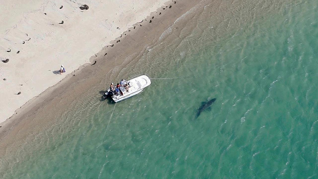 FILE - In this Tuesday, July 25, 2016 file photo released by the Atlantic White Shark Conservancy, a great white shark swims close to the Cape Cod shore in Chatham, Mass.