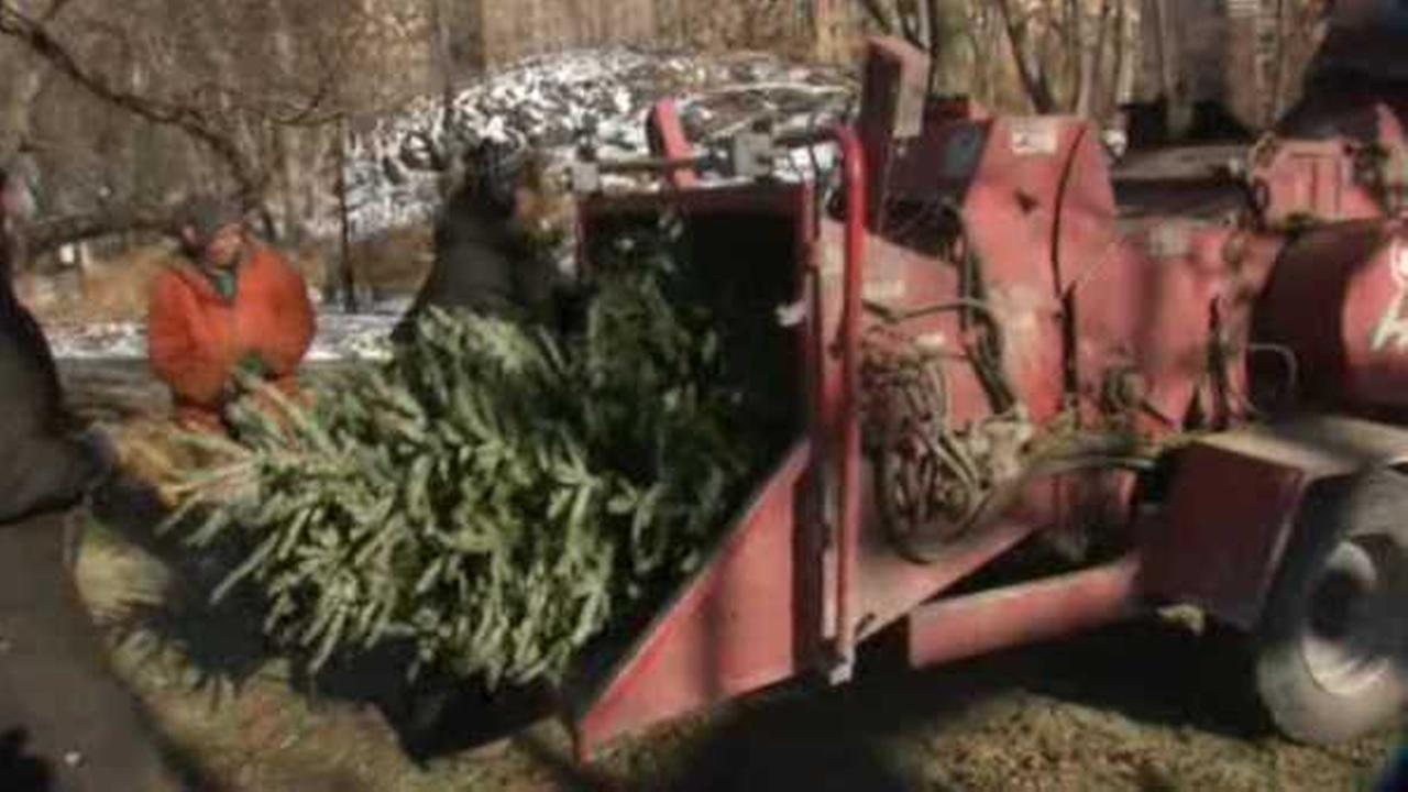 New Yorkers turn old Christmas trees into wood chips for 'MulchFest'