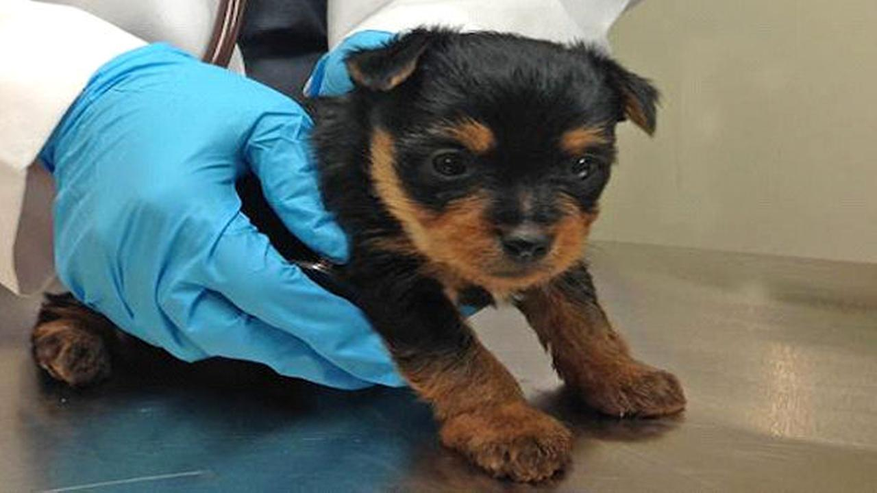 10 puppies rescued from New York City apartment; man, woman charged with cruelty