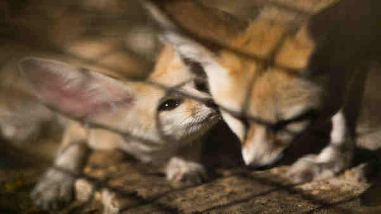 Photo of an 8-week old fennec fox in the Ramat Gan Safari Park near Tel Aviv, Israel