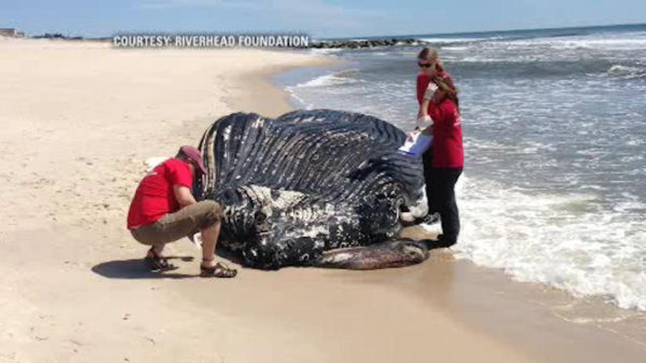 Dead Humpback Whale Washes Up On Westhampton Beach