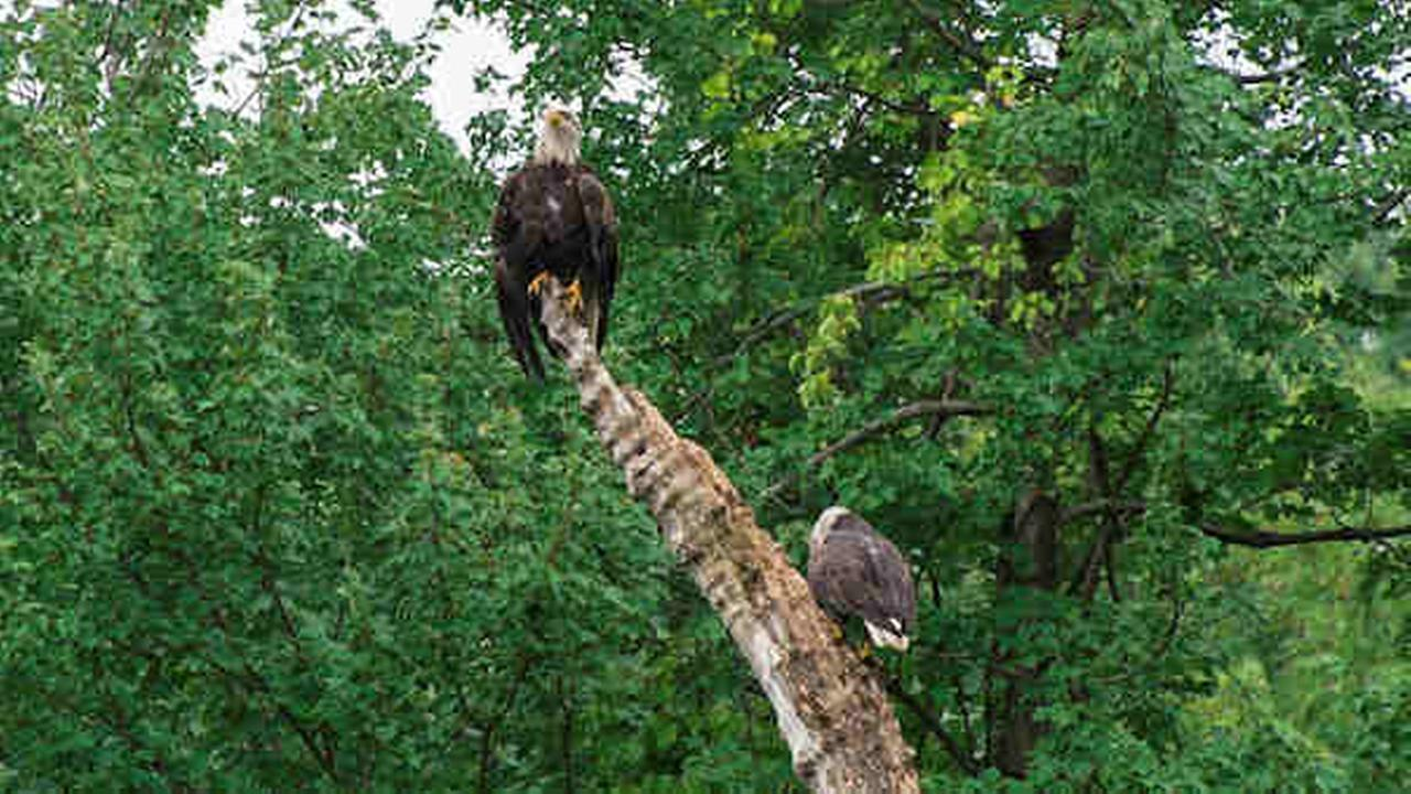 Bald Eagles making home in New York City