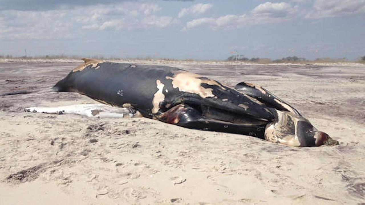 Dead whale beaches on eastern tip of Fire Island
