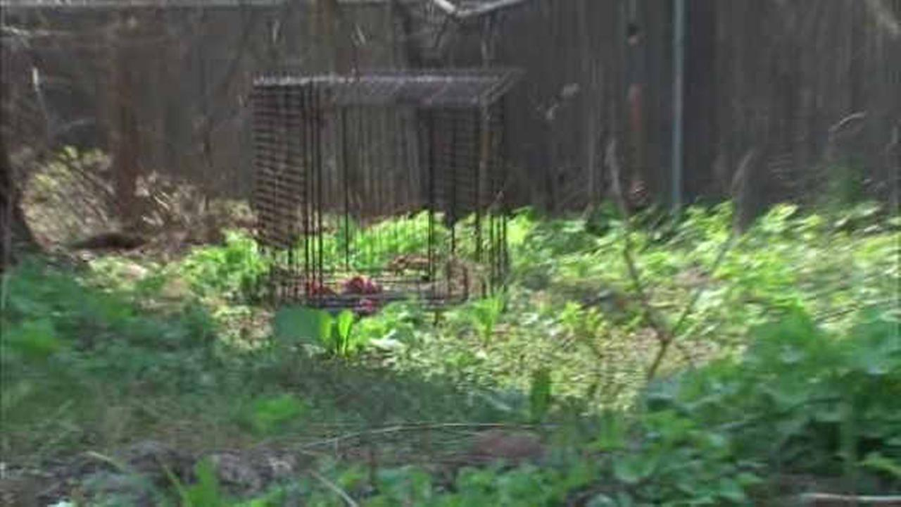 Coyote being tested for rabies after discovered in trap in Norwood