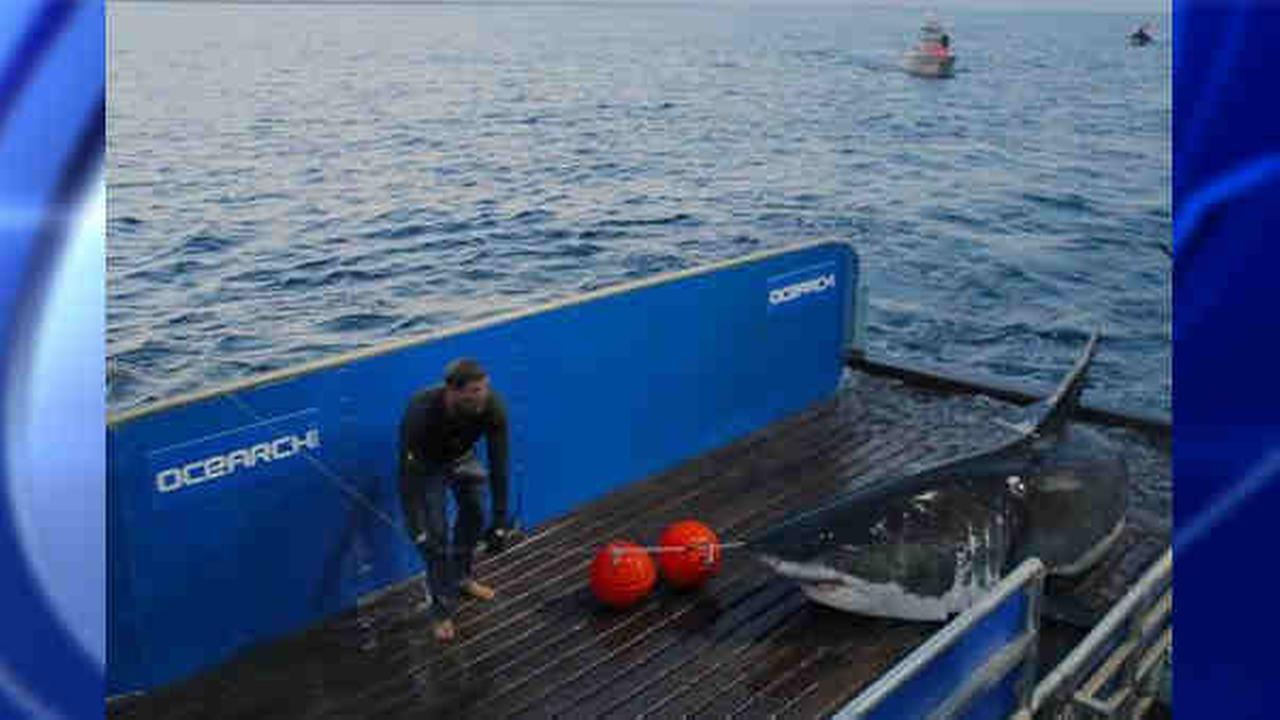 This 2012 picture shows a great white shark named Mary Lee when it was tagged off the coast of Cape Cod.