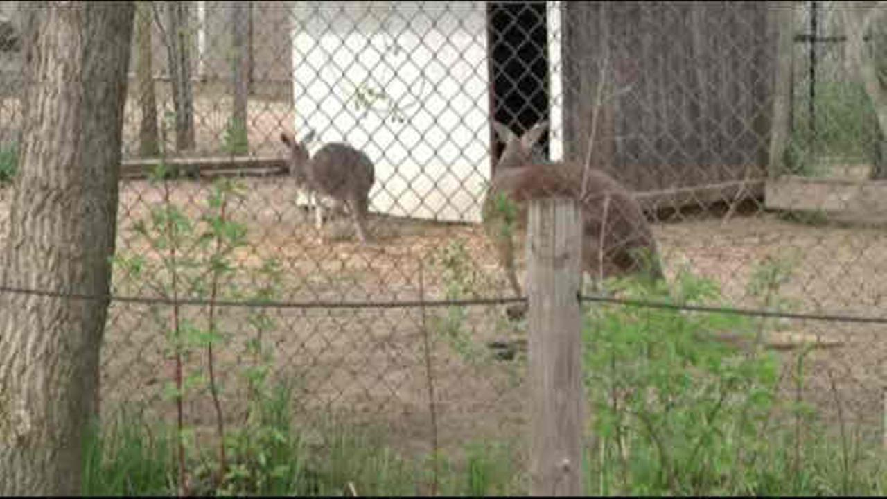 Baby kangaroo stolen away from mother's pouch at zoo