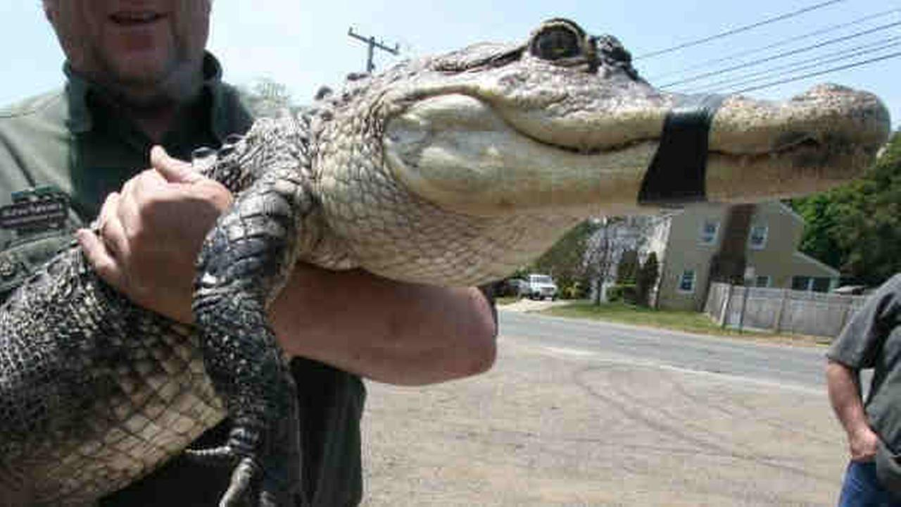 6-foot-long alligator turned over to Suffolk County SPCA