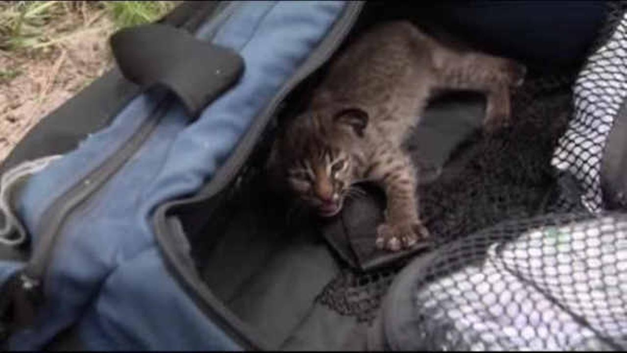 News crew helps to save baby bobcat during Florida wildfire