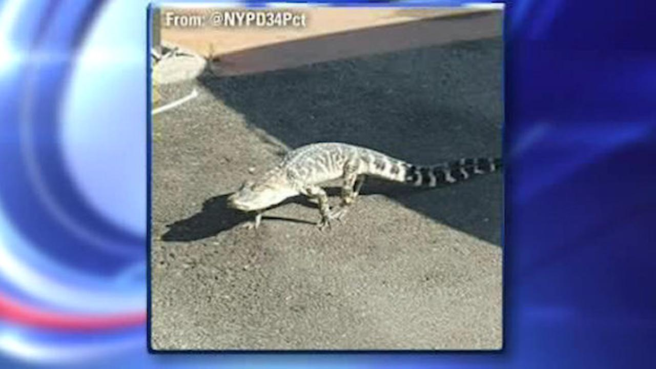 3-foot alligator found roaming New York streets dies