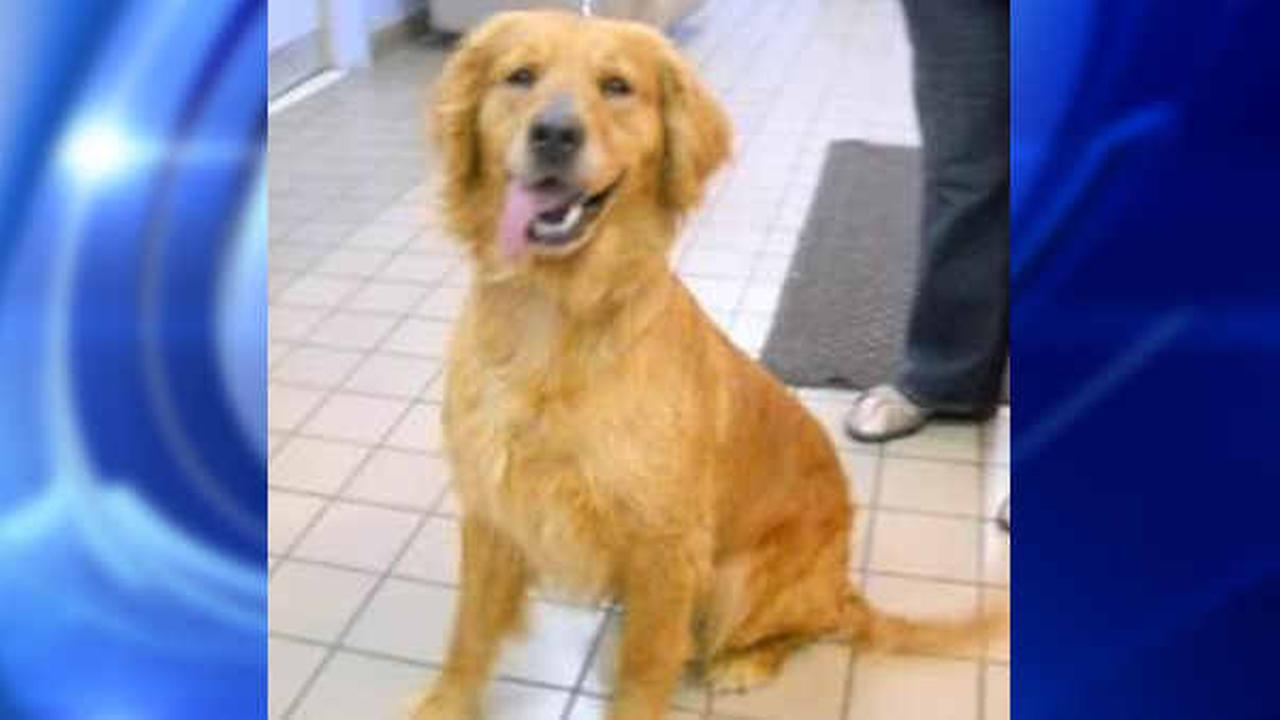 Abandoned Golden Retrievers from Turkey arriving at JFK Airport