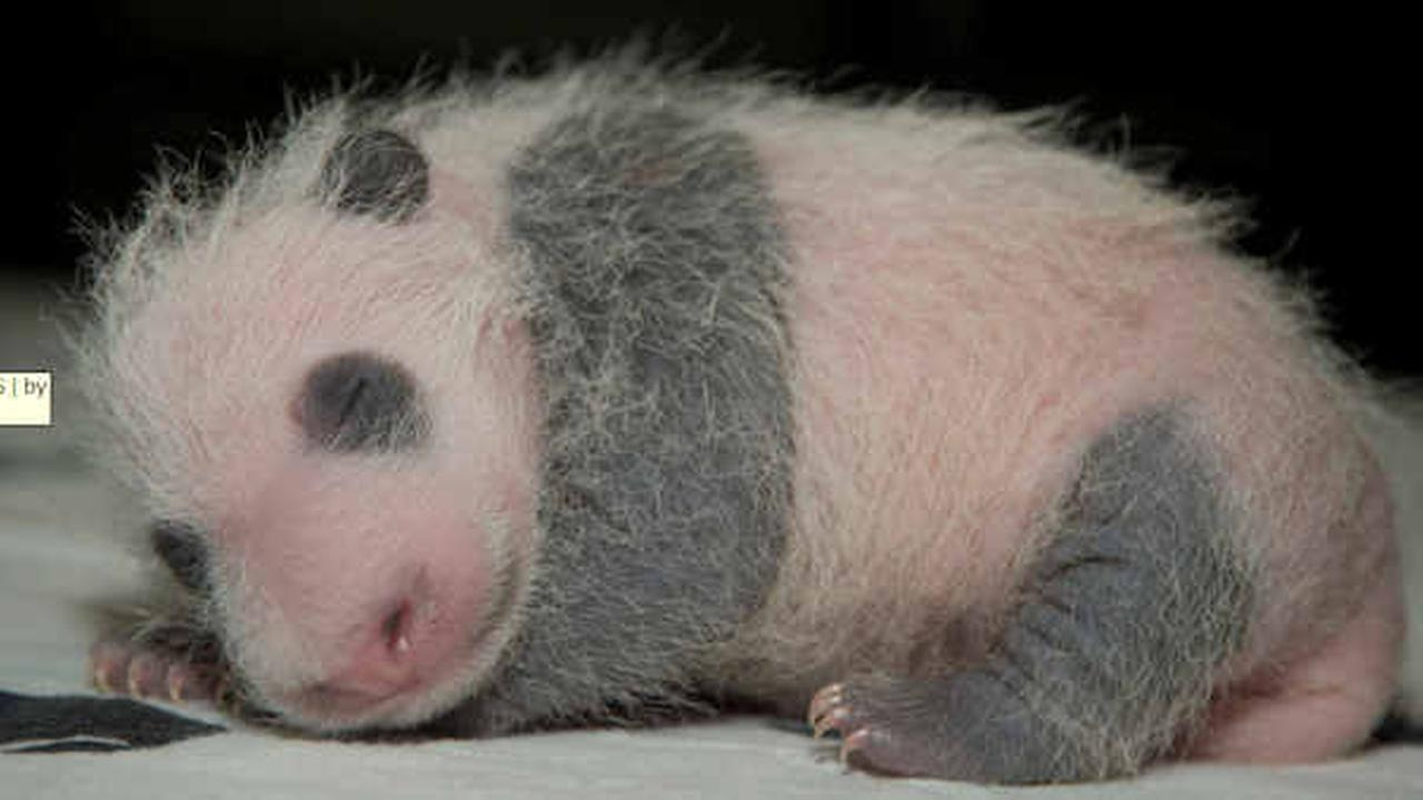 Panda cub at National Zoo is growing, weighs nearly 2 pounds