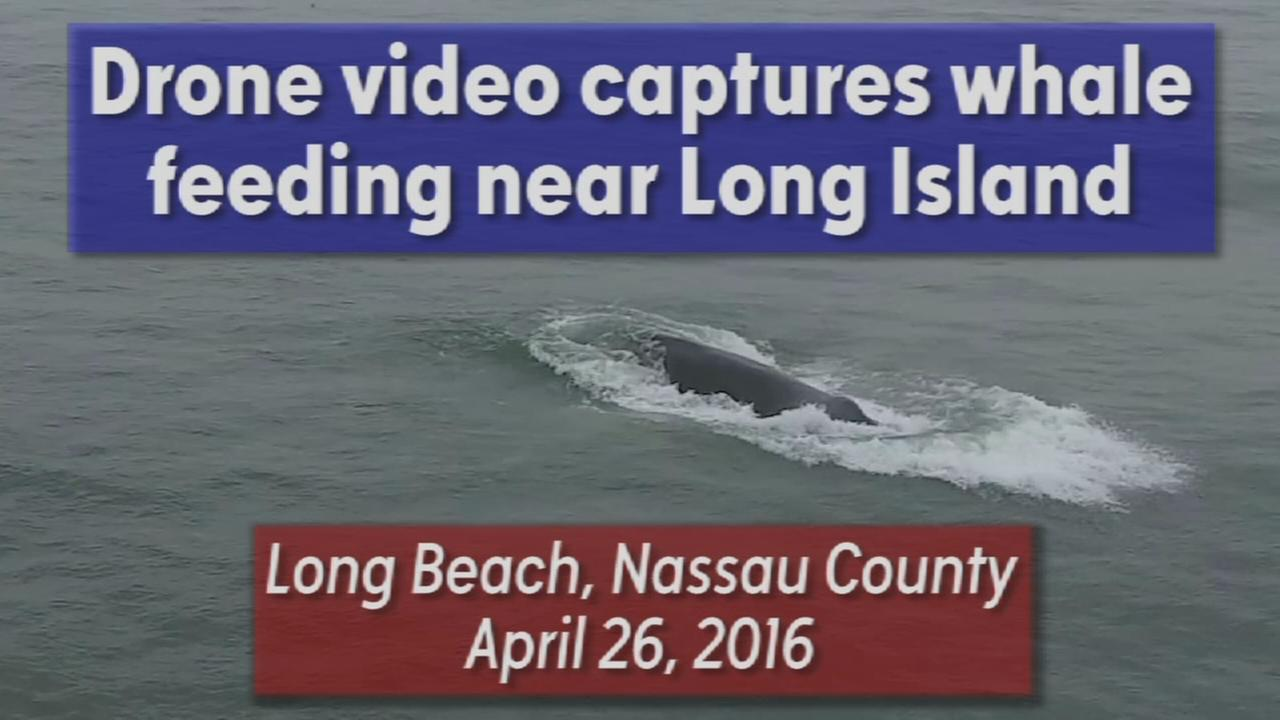 Drone video of whale feeding