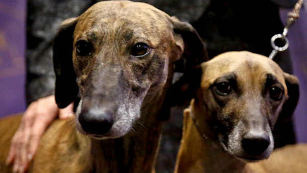 Toby, 5, left, and Izzy, 4, both Sloughi breed from Illinois owners, are shown at a press conference (AP Photo/Bebeto Matthews)
