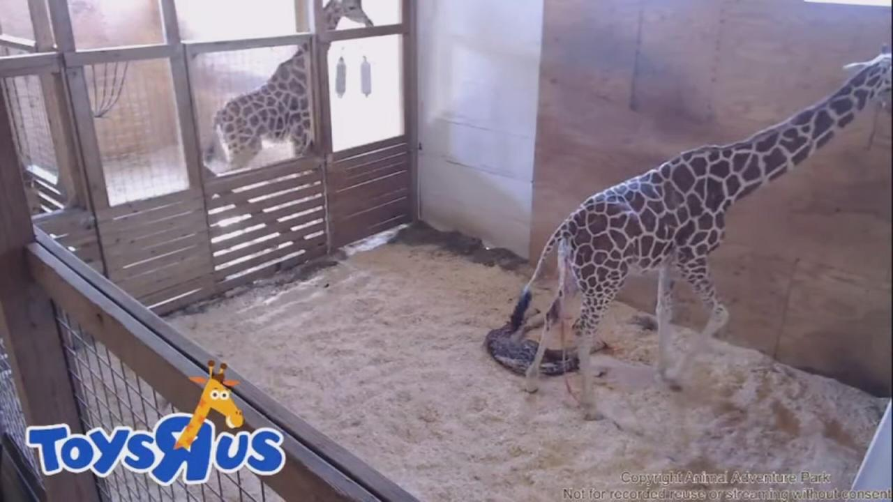 041517-wabc-giraffe-givesbirth-vid