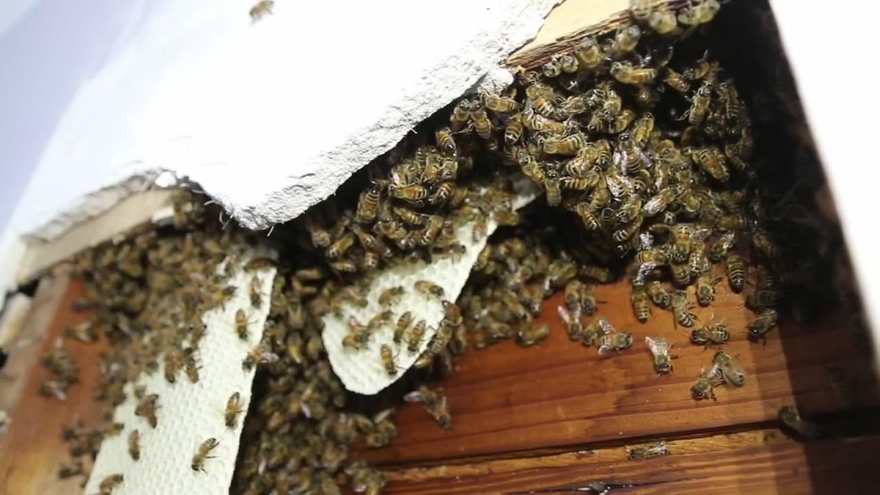 Bees found in wall of Long Island home