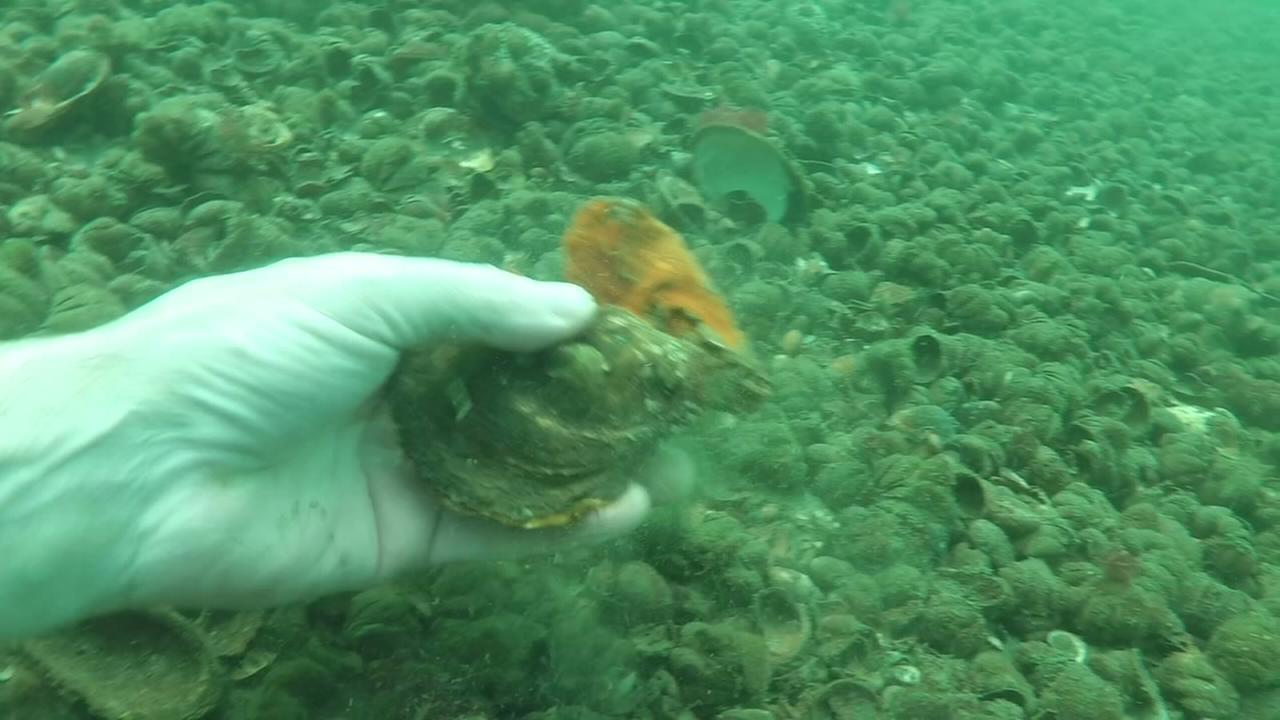 Push to find more oysters in NY waters
