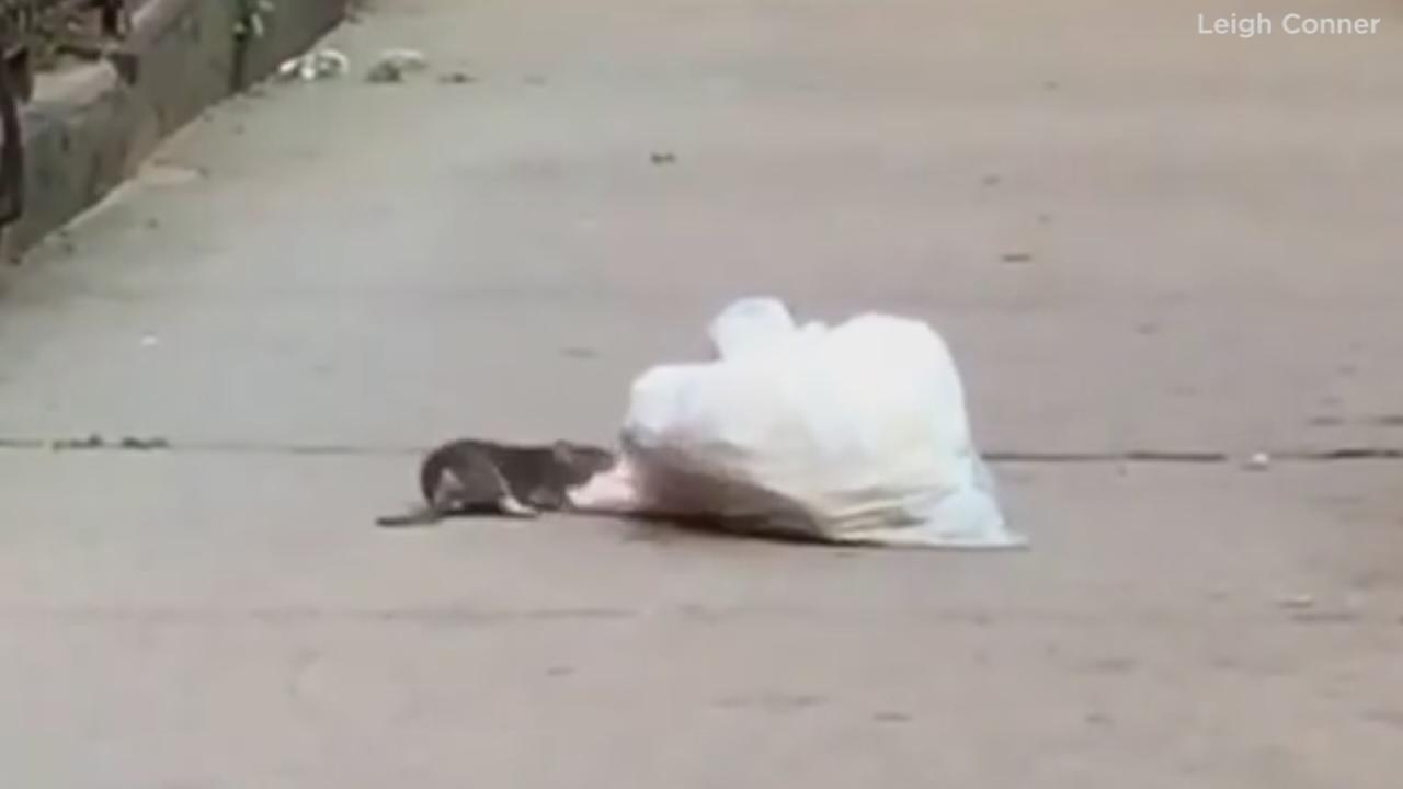 Raw: Rat drags bag of trash in Brooklyn