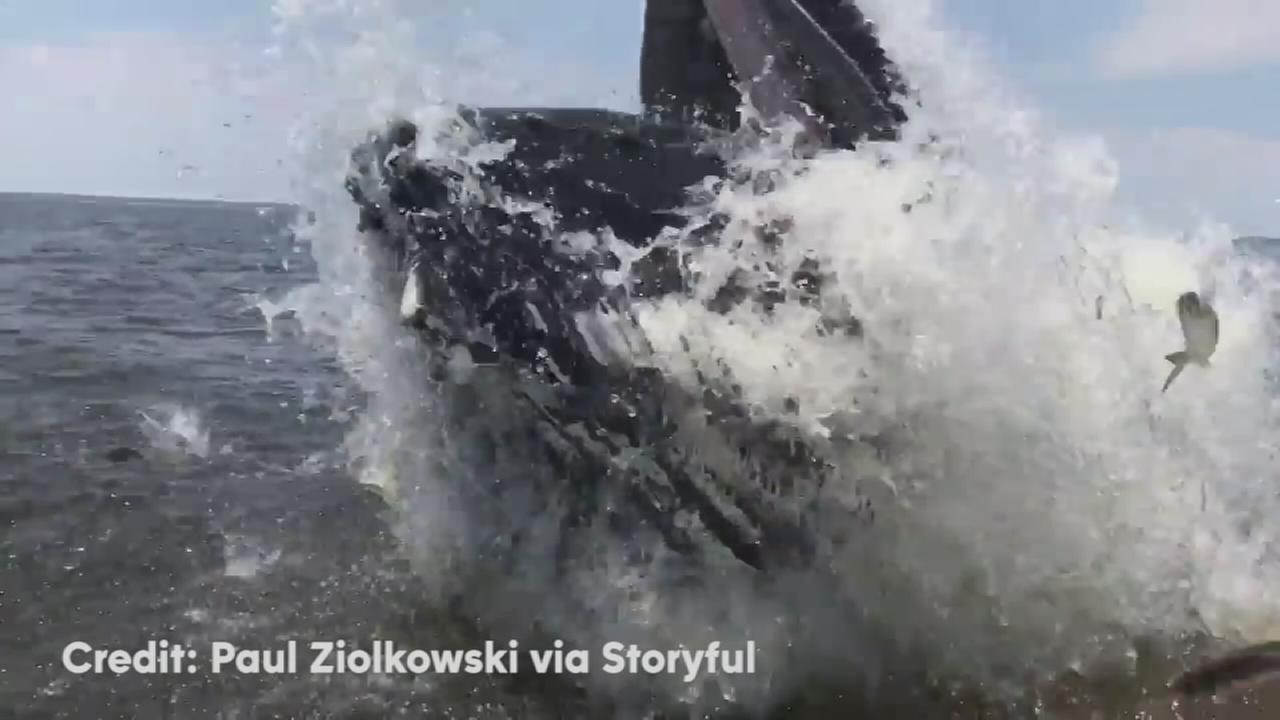 VIDEO: Humpback whale breaches near Verrazano Bridge