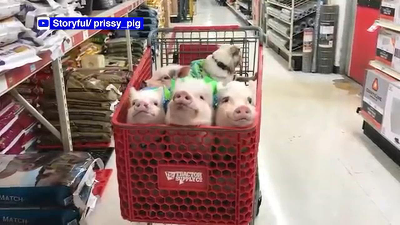 Woman goes shopping with four pigs and a pug