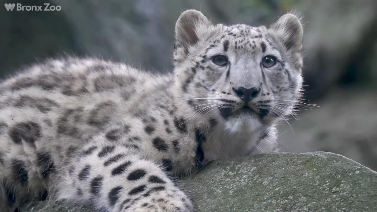 Raw video: Snow leopard cub at Bronx Zoo