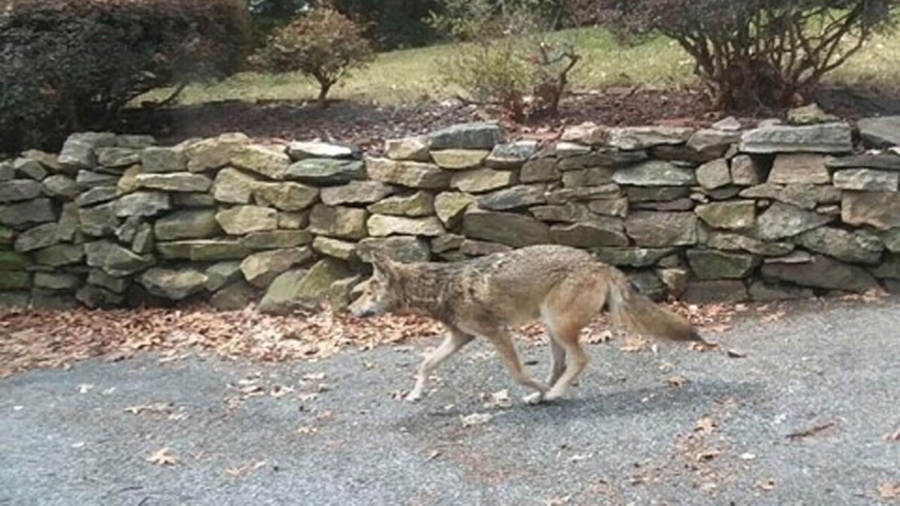 Aggressive Coyotes Attacking People Terrorizing Towns In