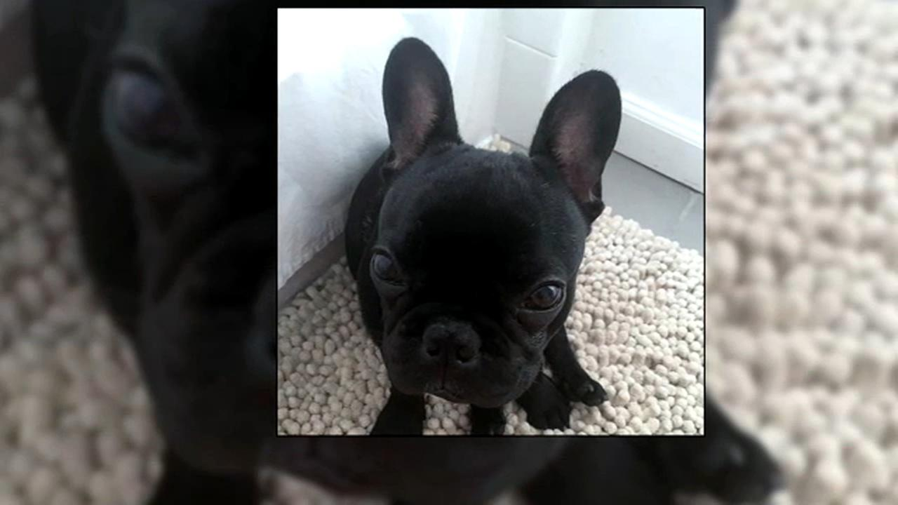 A French bulldog named Kokito died after being placed in an overhead bin on a United flight.