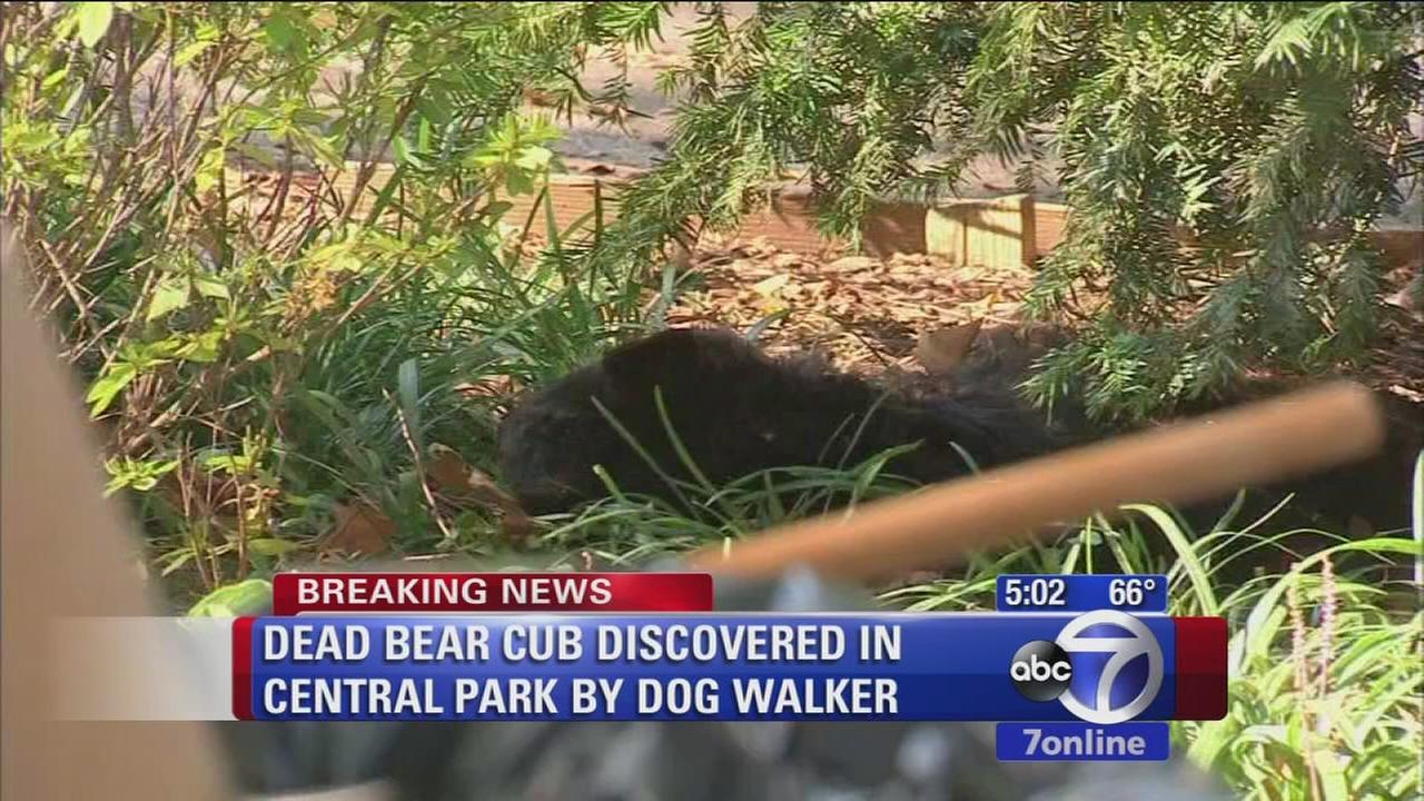 Dead bear cub found in Central Park
