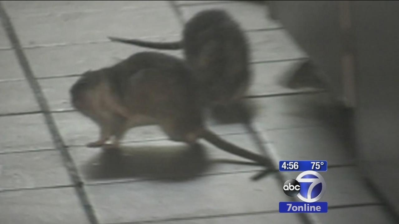 Study says NYC rats carry 18 new viruses