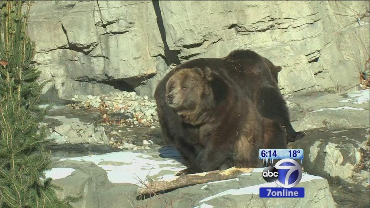 2 new grizzly bears at Central Park zoo